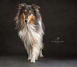 studio fotografie, hond, whippet, sighthound, Nuelle Flipse, Nuelle Flipse photography, fotografie, hondenfotografie, reviews