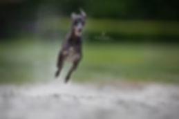 actie fotografie, action photography, hond, whippet, sighthound, Nuelle Flipse, Nuelle Flipse photography, fotografie, hondenfotografie, fotografie workshop