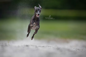 actie fotografie, action photography, hond, whippet, sighthound, Nuelle Flipse, Nuelle Flipse photography, fotografie, hondenfotografie, fotografie workshop