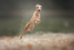 actie fotografie, action photography, hond, whippet, sighthound, Nuelle Flipse, Nuelle Flipse photography, fotografie, hondenfotografie