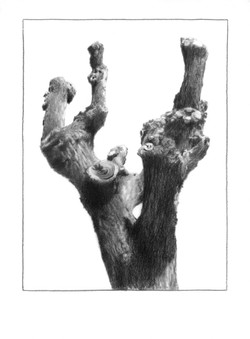 The elm (male), 2017