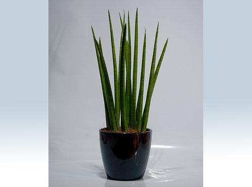 Sansivera Tubular maceta negra ceramica