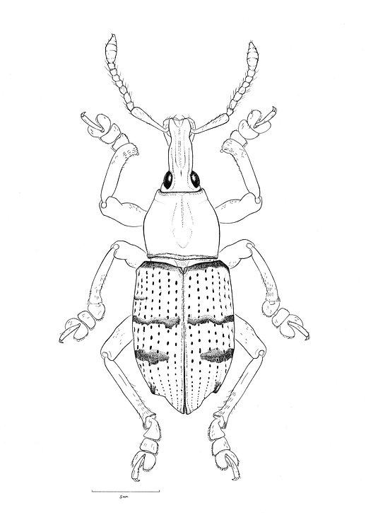 Käfer Illustration Ink Michelle Hartmann