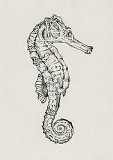 Seepferd Illustration Ink Michelle Hartmnn