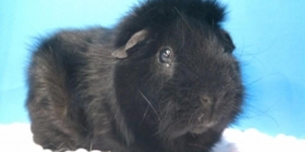 Free Guinea pig 101, Health Check, Nail Trim