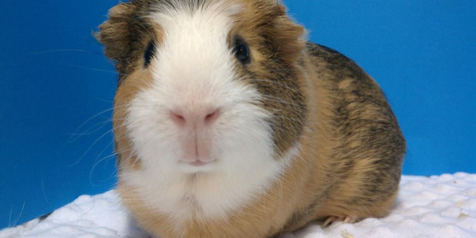 Free Guinea pig 101, Health Check, Free Nail Trims