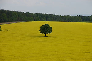 field-of-rapeseeds-1094849_960_720.jpg