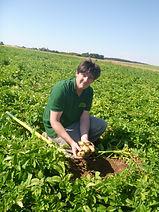 BIO RACINE, producteur pomme de terre, culture patate, culture pomme de terre, variété pomme de terre