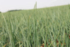 CHAMP OIGNON BIO RACINE, culture oignon, acheter oignon, association biologique, agriculture, oignon bio
