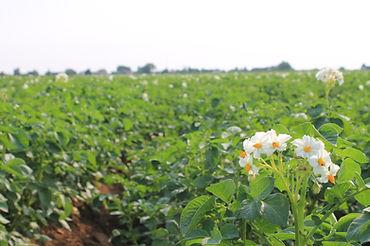 culture légumes secs bio, fournisseur légumes secs, producteur légume secs, haricot rouge, flageolet, lentille, lingot blanc