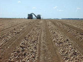 Producteur oignon bio, plein champ bio, biologique, culture, agriculture biologique, organic, talcy, bio