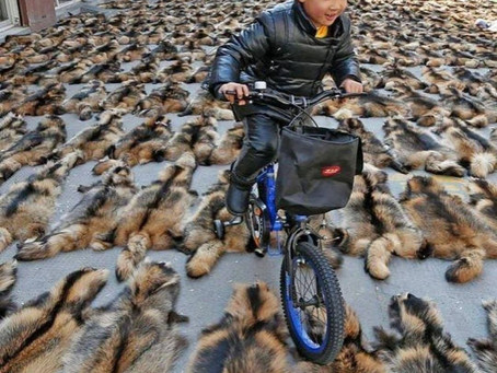 In China, Live Raccoon Dogs are Thrown to the Ground, Bludgeoned with Metal Rods, and SKINNED ALIVE