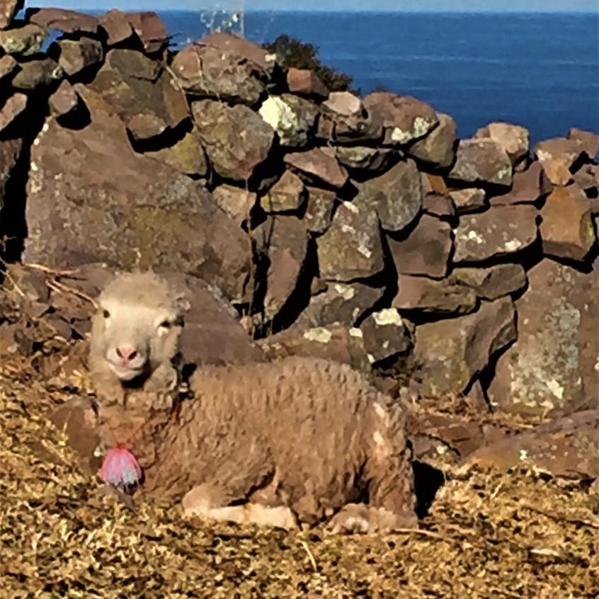 Les moutonnes coquettes :)) (je sais que ça ne se dit pas ok?)