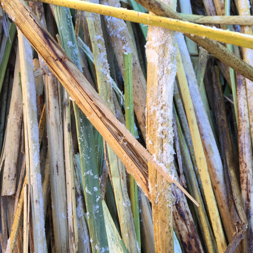 The reeds were still covered with ice in the morning