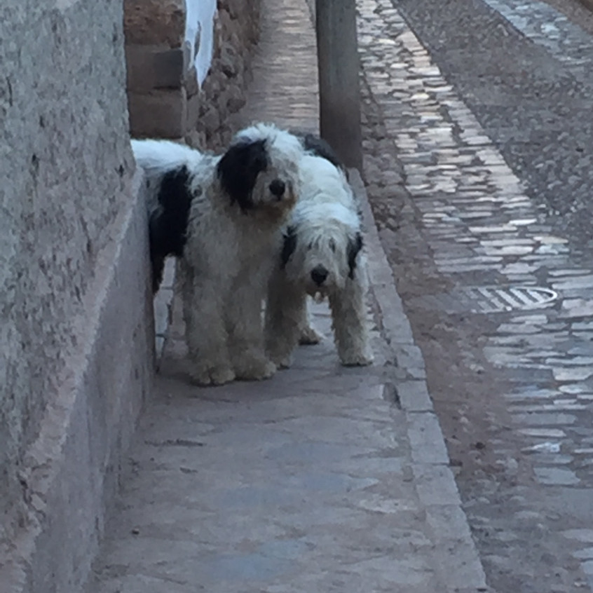 """There are street dogs EVERYWHERE and mostly they're beautiful. There are even tiny little chiuauas (or however you spell that) and poodles and other """"brand"""" dogs. I think people buy then then abandon them."""