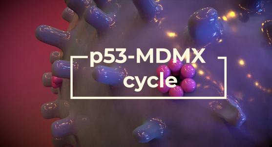 p53-MDMX (de)activation cycle