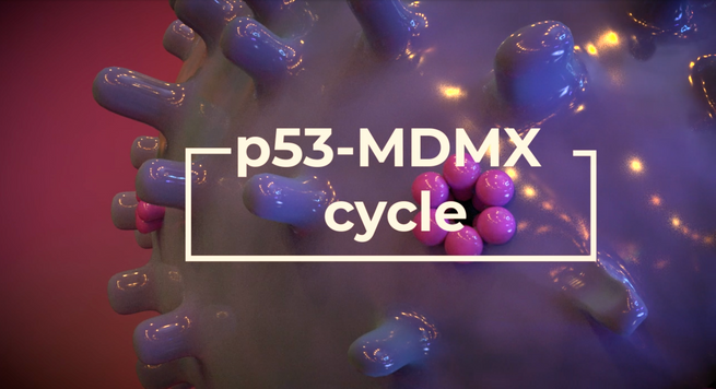 p53-MDMX (de)activation cycle