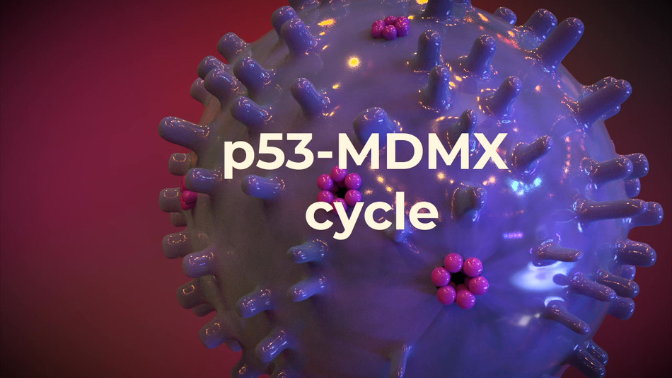 Animation depicting the p53-MDMX activation-deactivation cycle