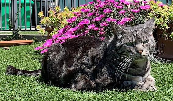 Gatto filariosi