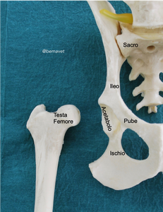 Bemavet, displasia dell'anca, acetabolo, femore, bacino