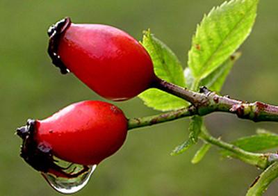 Есенно бране на билки- пет растения с мощно действие за укрепване преди зимата.  Втора  част