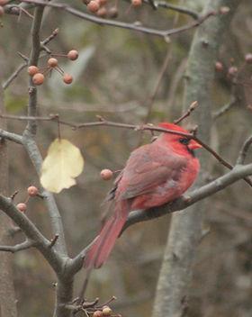 cardinal pear.jpg