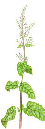 Teucrium scorodonia