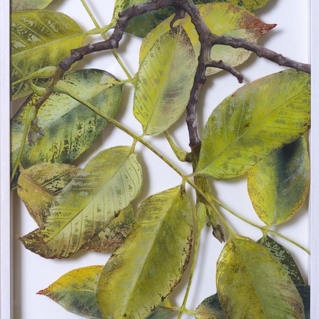 Walnut August  42 x 32 cm