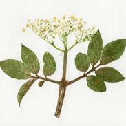 Elder Flower  20 x 21 cm