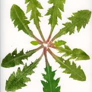 Dandelion  30 x 25 cm