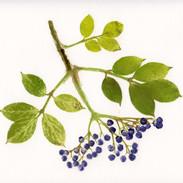 Elder Berries  26 x 24 cm