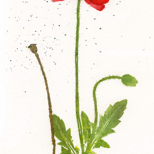 Poppy  32 x 20 cm