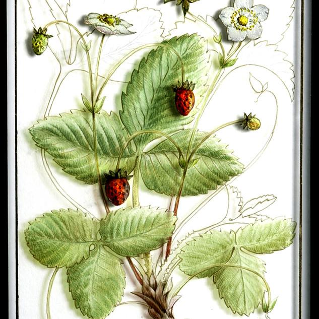 Wild Strawberry (detail) 42 x 36 cm