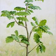 Sapling Oak 92 x 60 cm