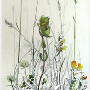 Yellow Rattle 52 x 30 cm