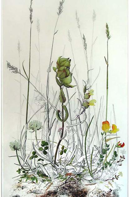 Yellow Rattle 52 x 30 cm