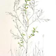 Goat Willow 200 x 150 cm