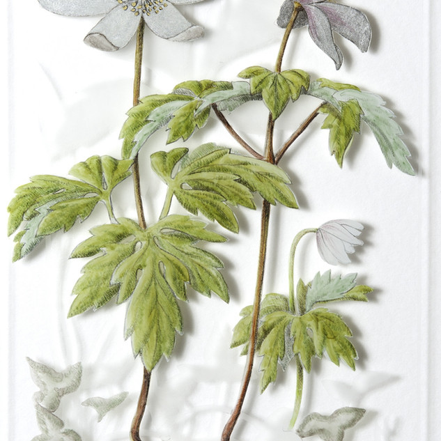 Wood Anenome - Anemone nemorosa