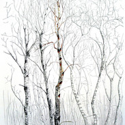 Downy Birch and Grey Willow 2.8m x 1.5m