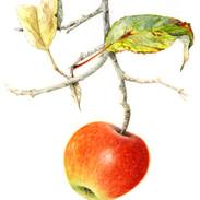 Apple Malus 36 x 28 cm
