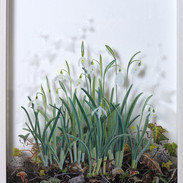 Snowdrops January 41 x 28 cm