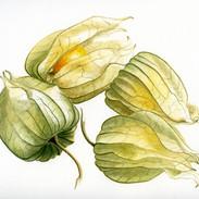 Cape Gooseberry 23 x 23 cm