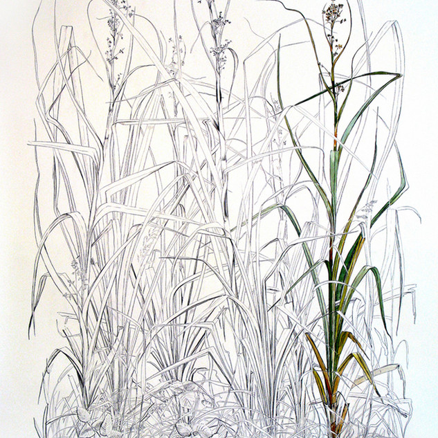 Saw Sedge 200 x 150 cm