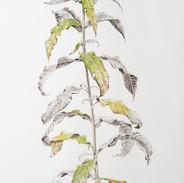 Rosebay Willowherb #2   150 x 55 cm