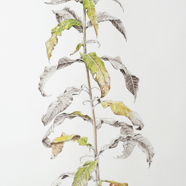 Rosebay Willowherb #2   150 x 55 cm