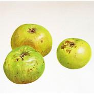 Last Year's Apples 25 x 25 cm