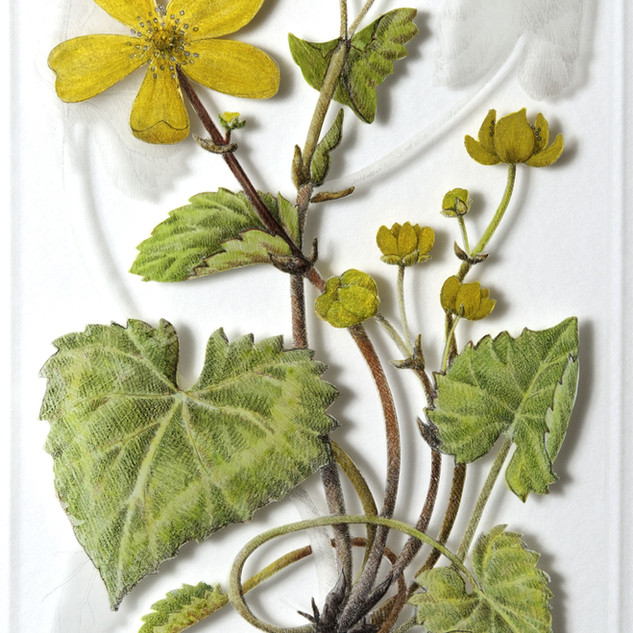 Marsh Marigold - Calthra palustris