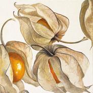 Cape Gooseberry 20 x 20 cm