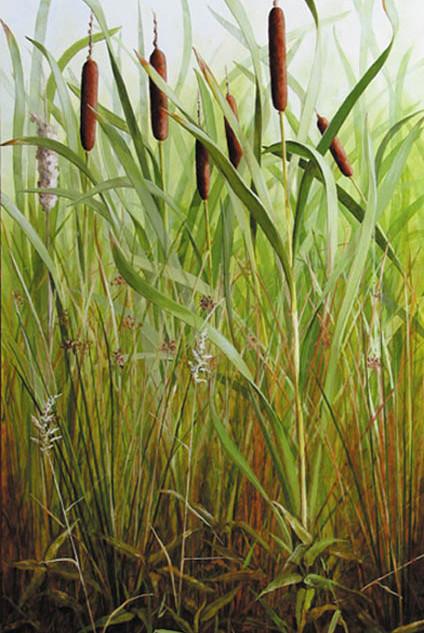 Great Reedmace 110 x 60 cm
