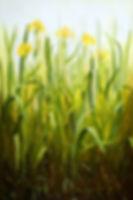 yellow-flag solo.jpg